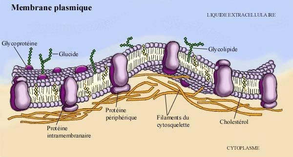 2018 membrane plasmatique