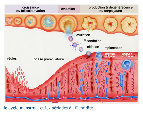 ovulation fecondation symptomes